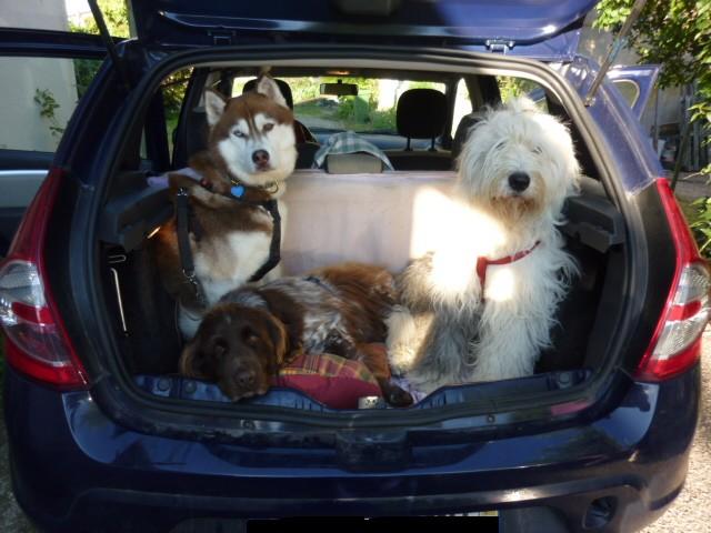 chiens voiture
